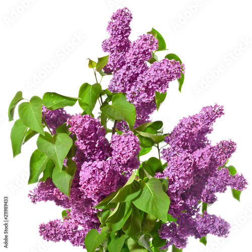 Fotobehang Lilac Bouquet of purple lilacs on a white background.