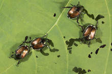 Japanese Beetles (Popillia Japonica) Eating A Physalis Leaf, Iowa, USA