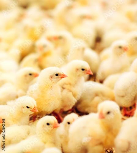 Photo Indoors chicken farm, chicken feeding