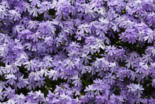Emerald Blue Moss Phlox Flower Are Blooming
