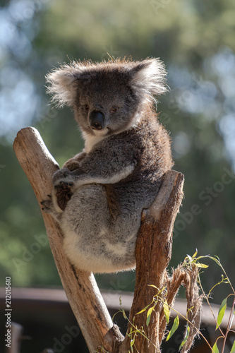 Keuken foto achterwand Koala Koala sitting in tree looking straight ahead