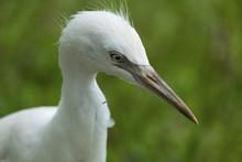 Baby White Egret.