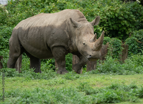 adult female rhino has finished her mud bath