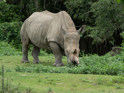 Poster Neushoorn adult female rhinoceros is watching you approach