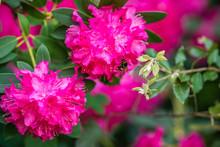Beautiful Blooming Pink Rhodod...