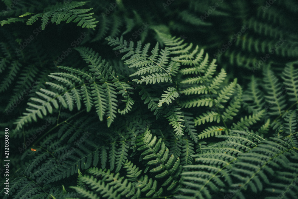 Fototapety, obrazy: Natural green fern wallpaper