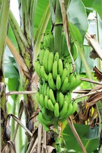 Tags Of Bananas Ripening In A ...