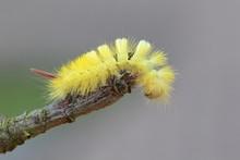 Pale Tussock Moth (Dasychira P...