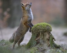 Red Fox Standing Erect At A Mo...
