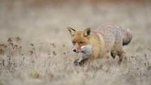 Red Fox (Vulpes Vulpes), Runs ...