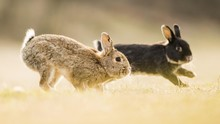 Two Rabbits (Oryctolagus Cuniculus), Playing, Crossing With Domestic Rabbit (Oryctolagus Cuniculus Forma Domestica), Lower Austria, Austria, Europe