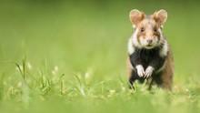 European Hamster (Cricetus Cri...