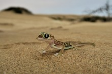Namib Gecko, Namib Sand Gecko,...