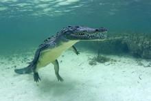 American Crocodile (Crocodylus Acutus), Floating Underwater, Banco Chinchorro, Quintana Roo, Mexico, Central America