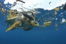 Sea Turtle Surrounded By Plast...