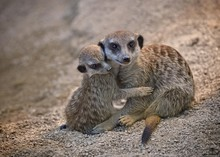 Baby Meerkat Cuddling With Mot...