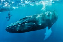 Humpback Whale With Diver Swimming In Sea