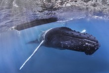 Humpback Whale Swimming Under Boat