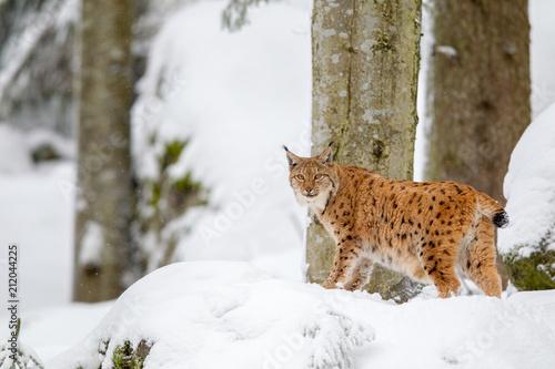 Poster Lynx Luchs (Lynx lynx) im Winter im Tier-Freigelände im Nationalpark Bayrischer Wald, Deutschland.