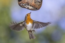 European Robin (Erithacus Rubecula), Flying, Winter Feeding, Baden-Wurttemberg, Germany, Europe