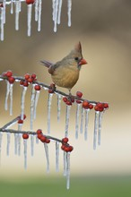 Northern Cardinal (Cardinalis Cardinalis), Adult Female Perched On Icy Branch Of Possum Haw Holly (Ilex Decidua) With Berries, Hill Country, Texas, USA, North America