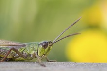 Meadow Grasshopper (Chorthippu...