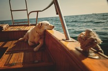 Thoughtful Dog On A Ship In Th...