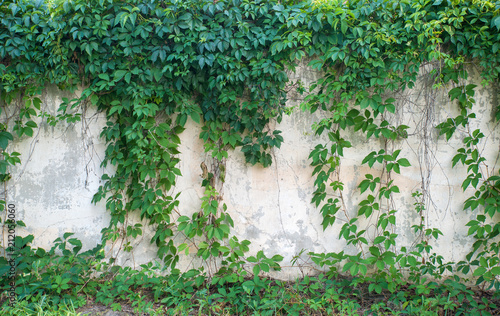Green ivy covered wall as background image Fototapeta