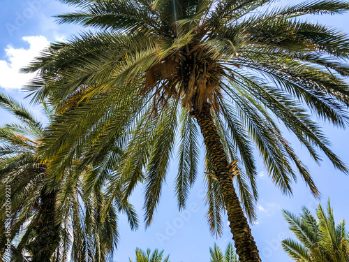 In de dag Palm boom Palm trees against blue sky, Palm trees on tropical coast coconut tree, summer tree.