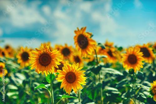 Fotobehang Bloemen field of flowers of sunflowers