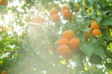 Sunshine On Branches Of Organic Apricot Tree