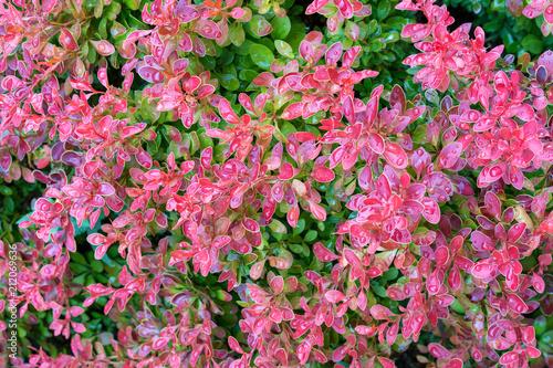 Staande foto Candy roze berberis tunbergii Golden Ring