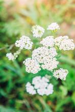 Medicinal Wild Herb Yarrow Flo...