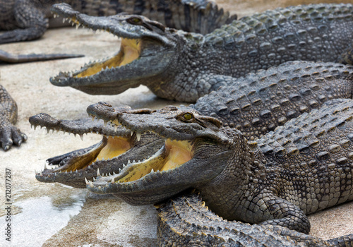Tuinposter Krokodil Freshwater crocodile opened his mouth on the farm.