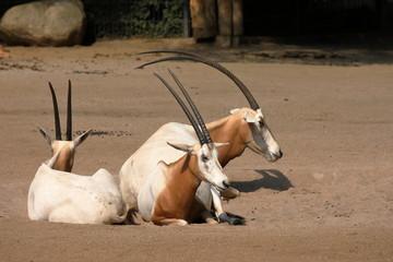 Säbelantilope