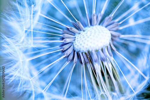 Dandelion abstract background.