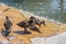 Close Up View Of Three Ducks D...