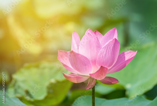 Foto op Canvas Lotusbloem Pink lotus flower in pond