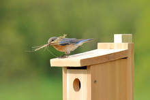 A Pair Of Eastern Bluebirds Bring Nesting Materials To A New Box.