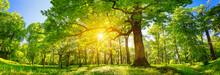 Old Oak Tree Foliage In Mornin...