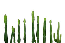 Tropical Succulent Plant Cowboy Cactus (Euphorbia Ingens) Isolated On White Background, Clipping Path Included.