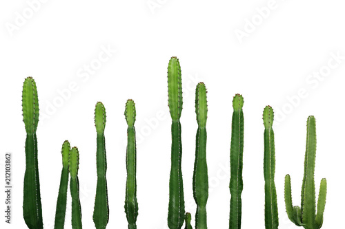 Spoed Foto op Canvas Cactus Tropical succulent plant Cowboy cactus (Euphorbia Ingens) isolated on white background, clipping path included.