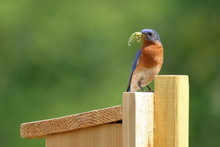 A Male Eastern Bluebird Brings...