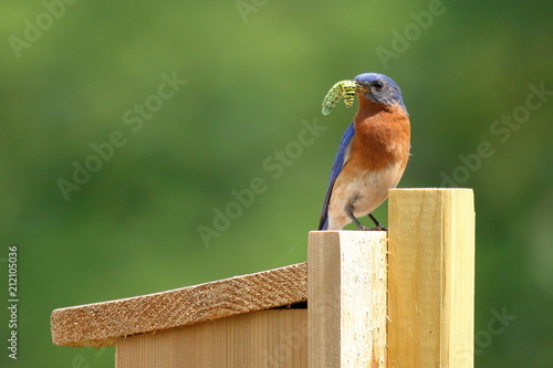 A male Eastern Bluebird brings a Swallowtail Butterfly caterpillar to the nest box for the baby birds Tapéta, Fotótapéta