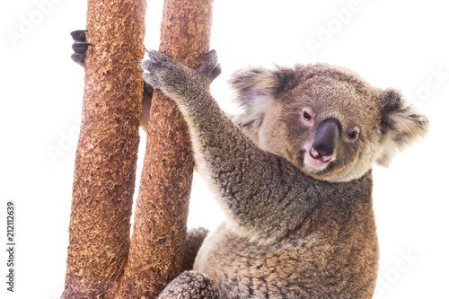 Poster Koala koala bear on a white background