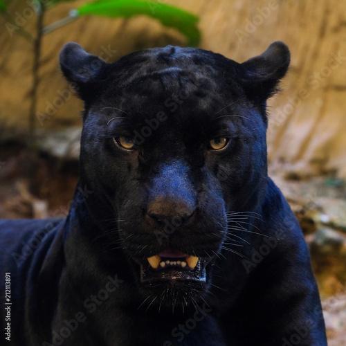 Deurstickers Panter black panther shot close up