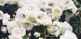 white bushy braided roses in garden on background of stone old house closeup on a sunny summer day, buds of delicate flowers for postcards, color bloom in garden, beautiful blossom in outdoor street