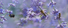 Bees And Bumblebee On Lavender Close Up