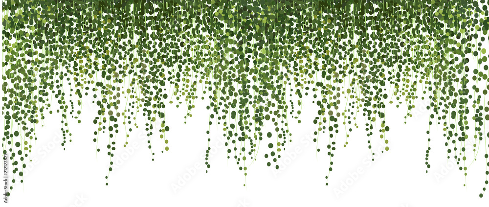 Fototapety, obrazy: climbing wall of ivy. vector illustration on white background. banner and web background.