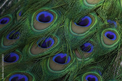 Photo sur Toile Les Textures Detalle del plumaje de un Pavo Real